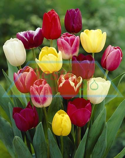 Tulip Fiesta Mixed Tulips Spring Bulbs Flower Bulbs ... - photo #41