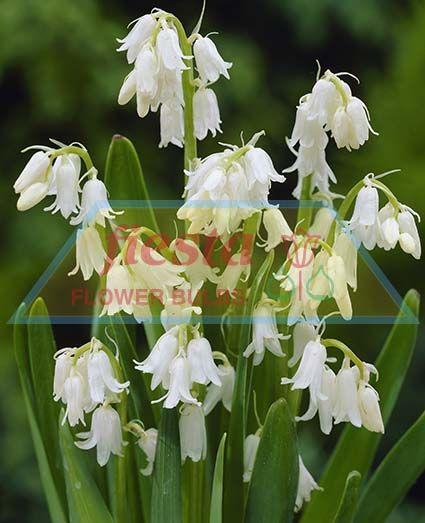 Buy Lights Online Nz: White City Scilla Spring Bulbs Flower Bulbs ::. Fiesta