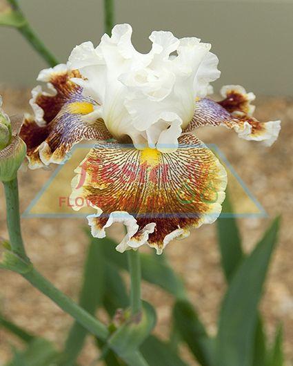Groom Tb Iris Flowers Standards Falls Foliage For Showing