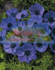 Copy of Blue Poppy.jpg