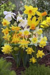 Daffodil Miniature Mixed