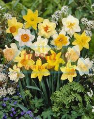 Daffodil Super Mixed