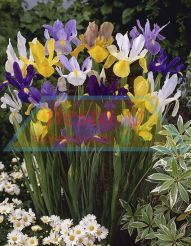 Dutch Iris Fiesta Mixed