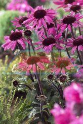 Echinacea - Purpurea