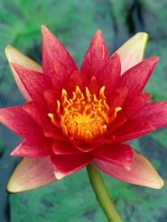 Hardy Water Lily Red