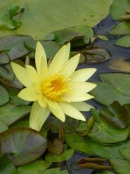 Hardy Water Lily Yellow