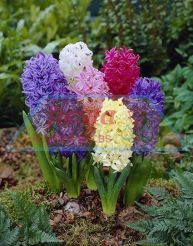 Fiesta Hyacinth Mixed
