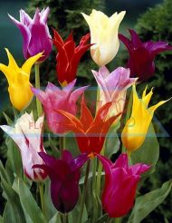 Tulip Lily Mixed