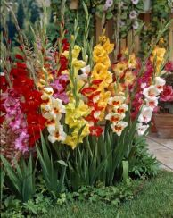 Miniature Mixed Gladioli