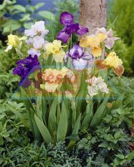 Bearded Iris Mixed