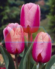 Pink Impression