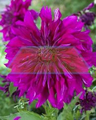 Purple_Taiheijo.jpg