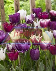 Purplepassion_mixed_visi87822.jpg