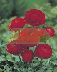 Ranunculus Red.jpg
