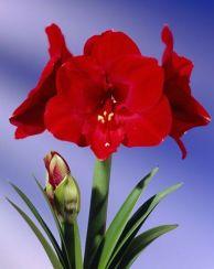 Red Hippeastrum
