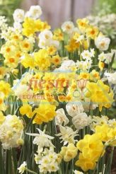 Daffodil Scented Mixed