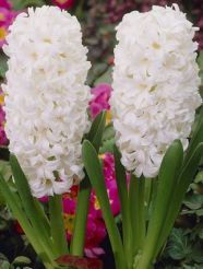 White Potted Hyacinths