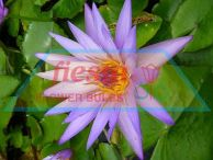 Tropical Water Lily Blue